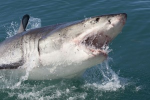 A great white shark (not this one) is likely headed to Texas.