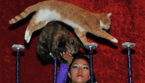 Be amazed by the Amazing Acro-Cats! Photo: circuscats.com