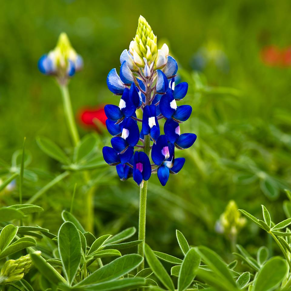 Saturday Spotlight Wildflowers And Music At The Ennis Bluebonnet