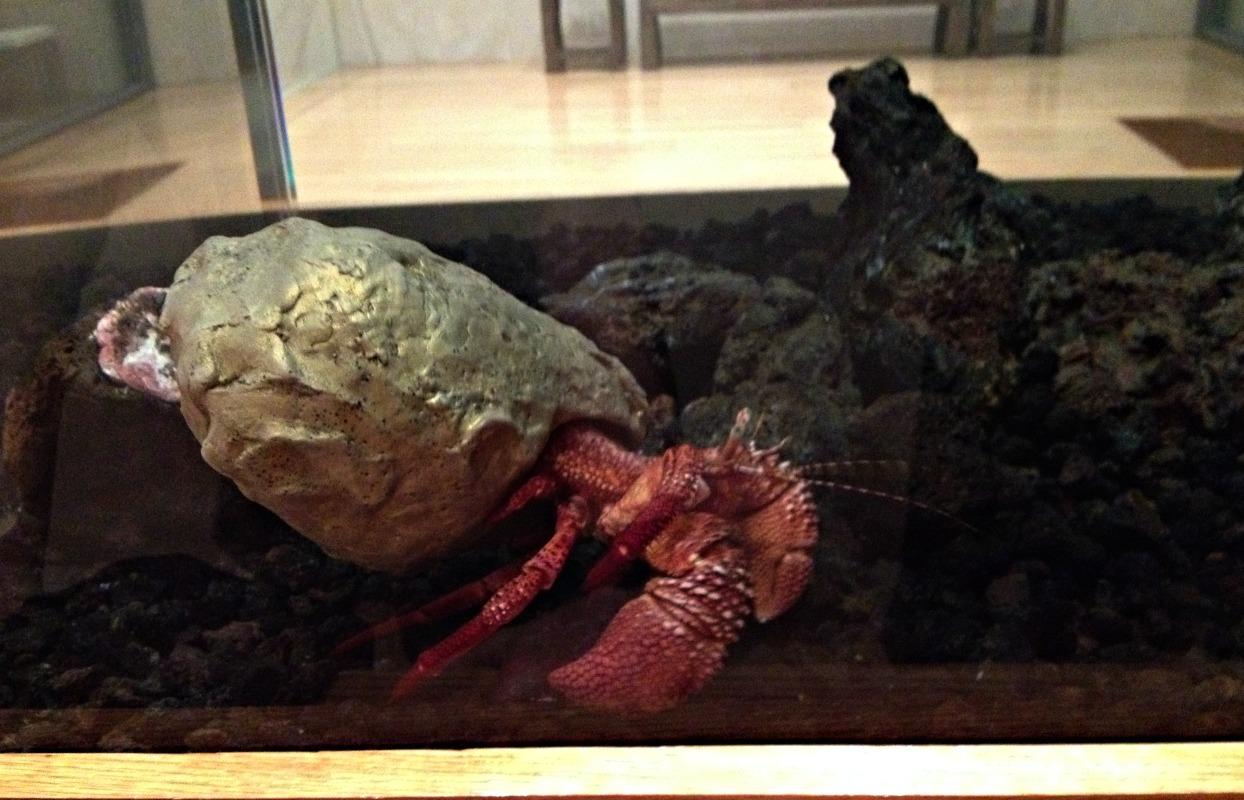 hermit crab3