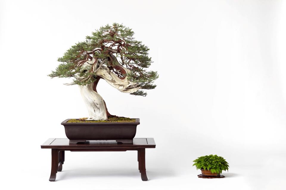 Bonsai Society Of Dallas Exhibit Art Seek Arts Music Culture For North Texas