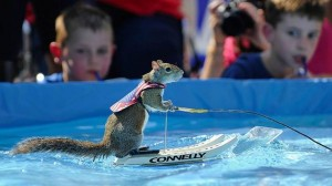 Say hello to Twiggy the water-skiing squirrel at MayFest. Photo: MayFest