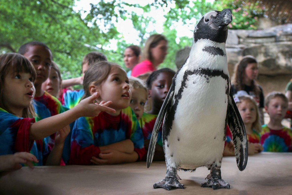 Do penguins live on the North Pole or the South Pole? Find out this spring break. Photo: Dallas Zoo