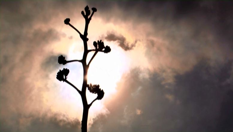 agave-bloom