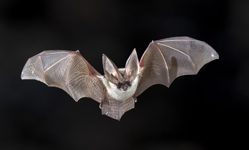 Flying bat on dark background.