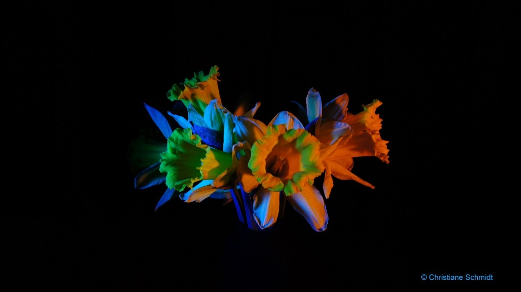 Photograph of yellow daffodils with colored lights hitting them against a black background.