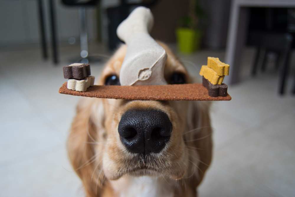 Close up picture of a Golden Retriever balancing a bone and dog treats on his nose