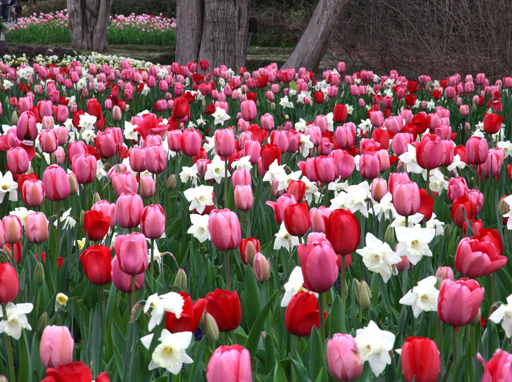Bed of pink, red and white tulips